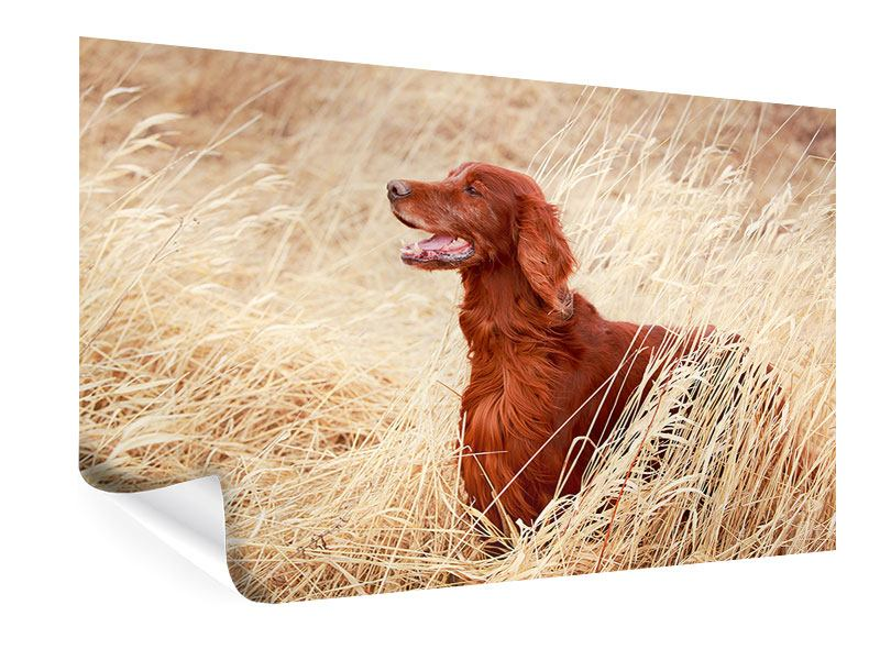 Poster Irish Red Setter