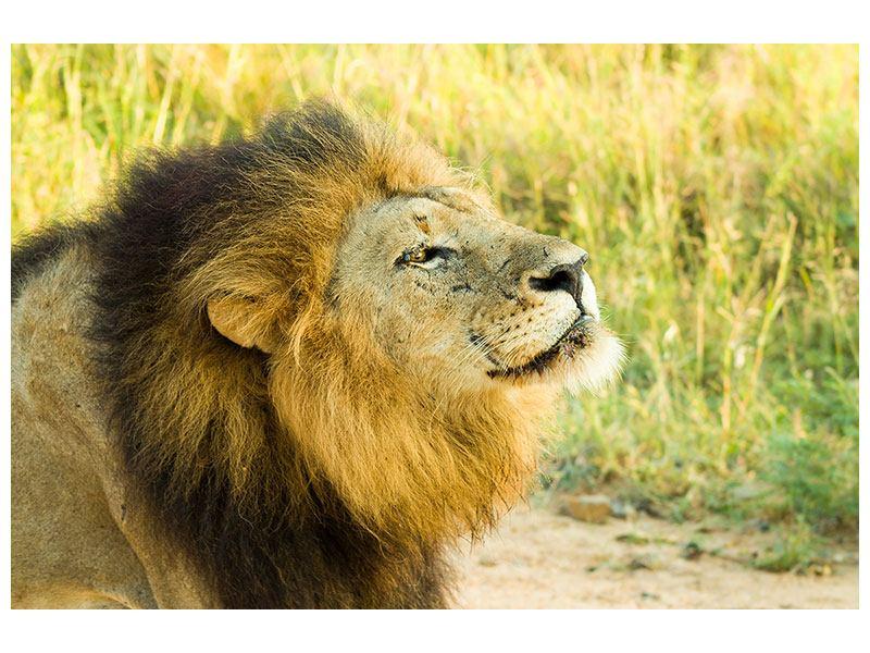 Poster Der König der Tiere