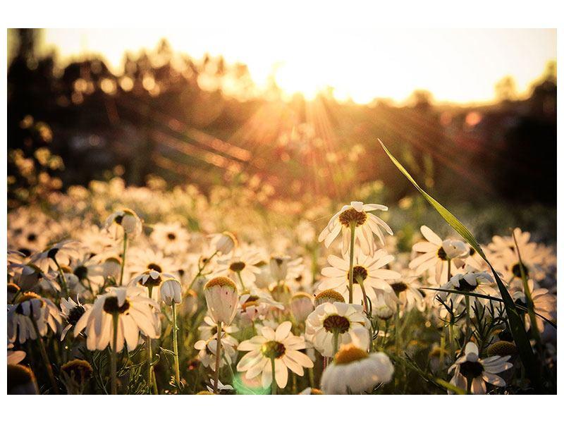 Poster Gänseblümchen bei Sonnenuntergang
