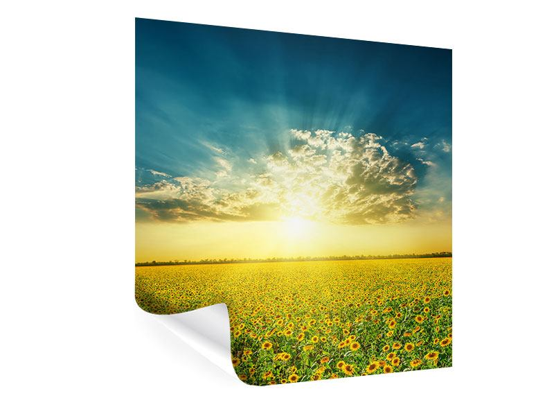Poster Sonnenblumen in der Abendsonne