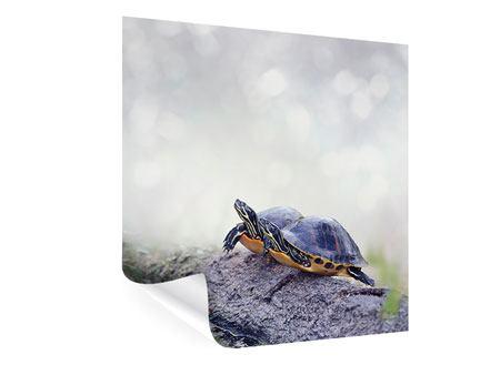 Poster Schildkrötenpaar