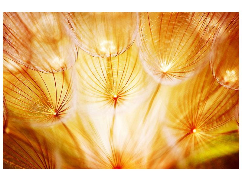 Poster Close Up Pusteblume im Licht