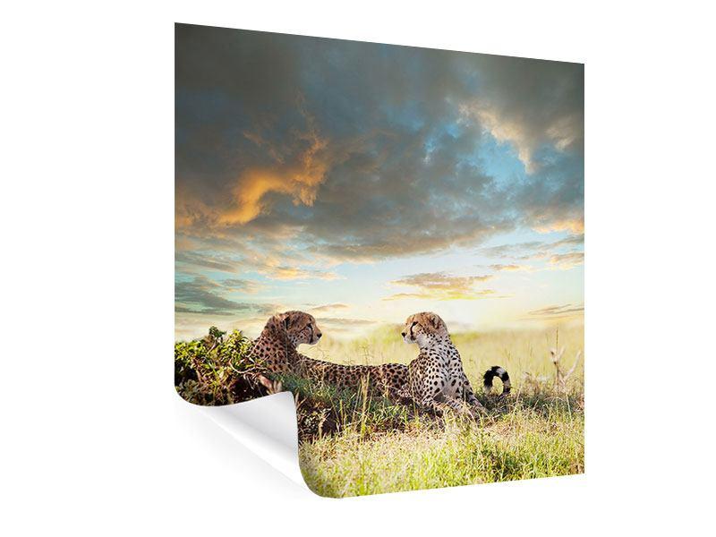 Poster Geparden