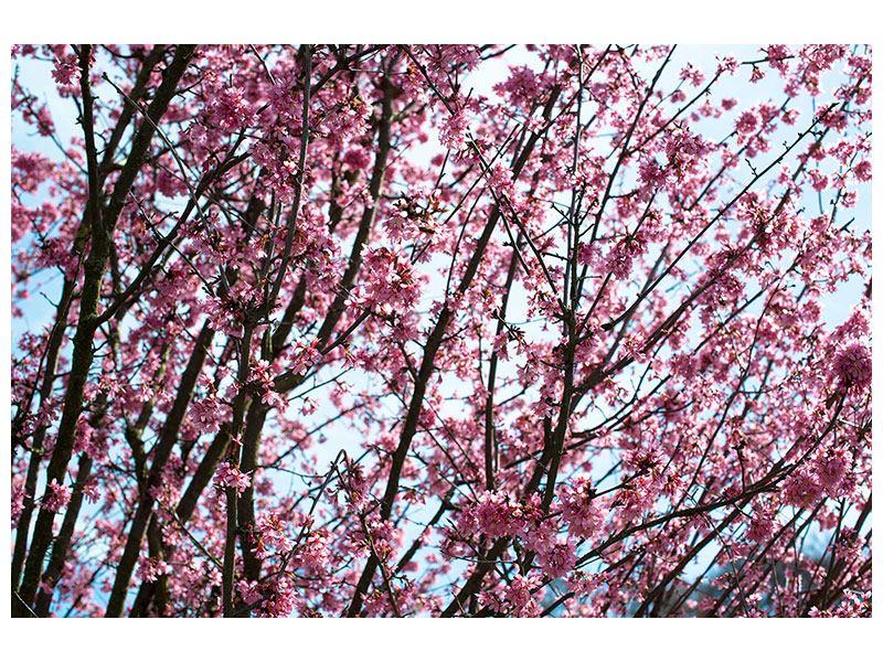 Poster Japanische Blütenkirsche