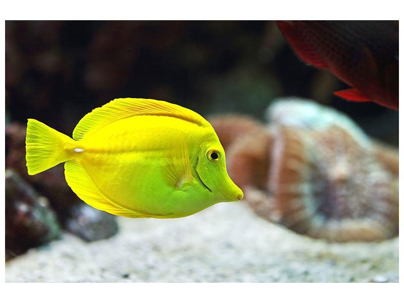 Poster Segelflossendoktorfisch