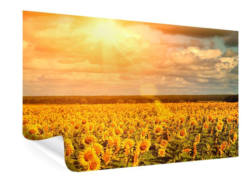 Poster Goldenes Licht für Sonnenblumen