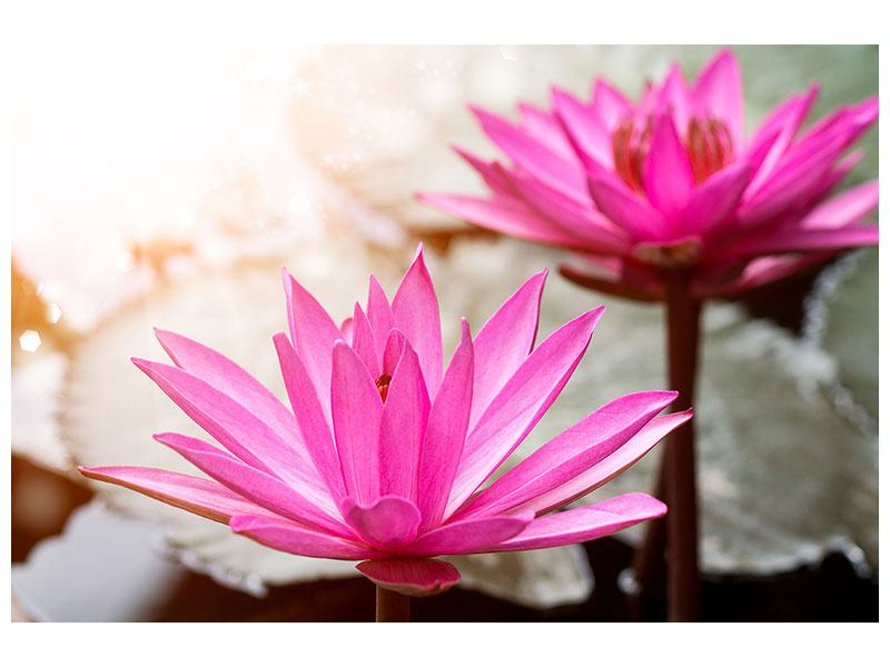 Poster Lotus-Duo